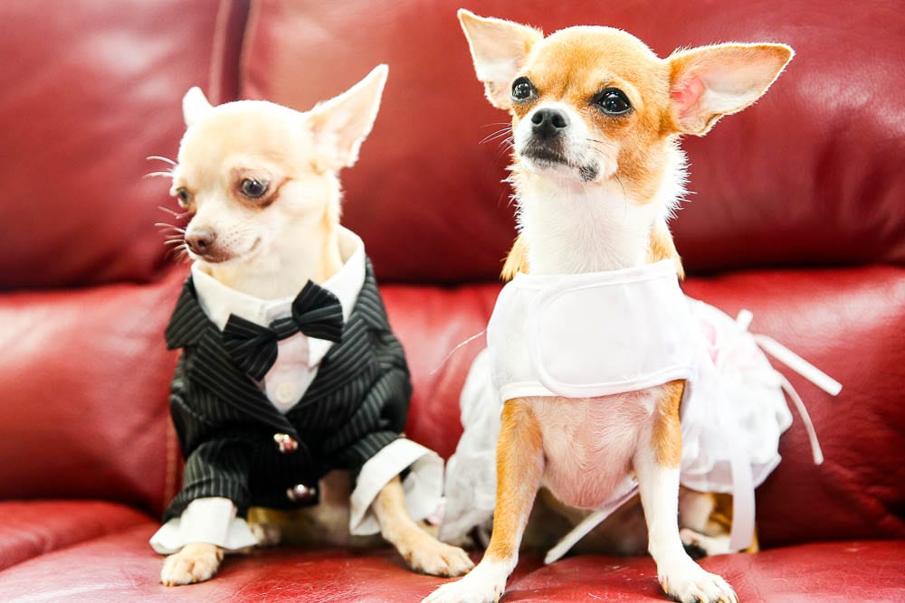 funny picture of dogs dressed for wedding