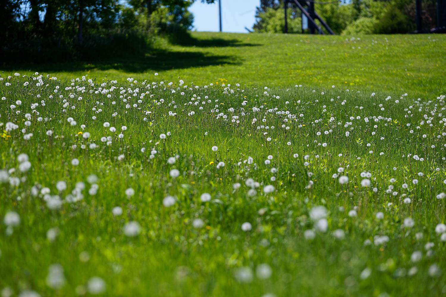 — acres of land covered by dandelion—